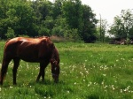 Horseinpasture3