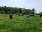 Horsesgrazing2