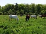 Horsesgrazing3