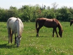 Horsesgrazing(compressed)