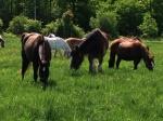 HorsesinPasture