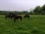 Horsesinpasture14